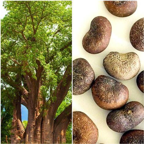 Semillas de Baobab. Adansonia Digitata. 10 Gramos