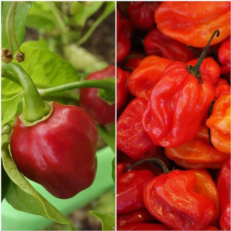 Semillas de Chile Habanero Rojo. Muy Picante. 5 Gramos