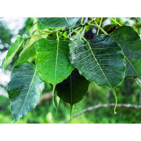 Semillas de Higuera Sagrada. Ficus Religiosa. 10 Gramos