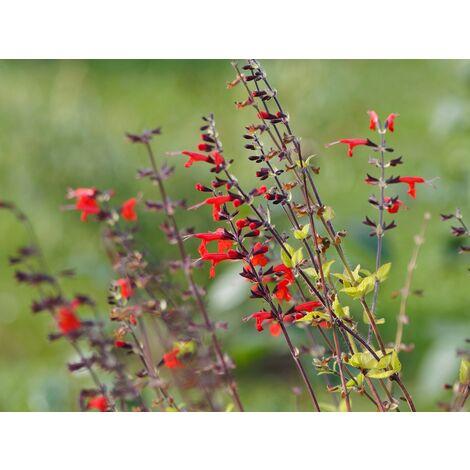 Semillas de Salvia Roja. Coccinea Scarlet. 10 Gramos