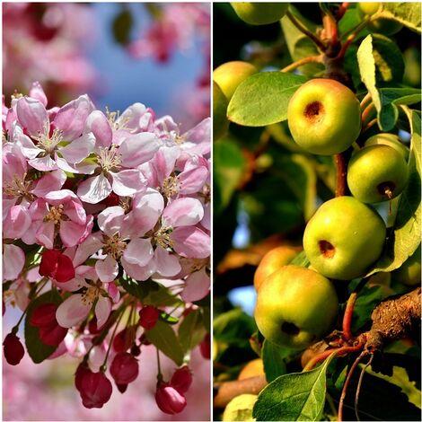 Semillas Manzano Silvestre. Malus Communis