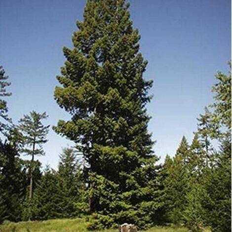 Séquoia Toujours Vert (Sequoia Sempervirens) - Godet - Taille 20/40cm