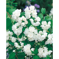 Seringat Minnesota Snowflake - Le godet - Blanc - Arbustes d'ornement