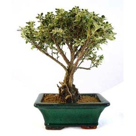 Serissa phoetida variegata - 5 años - Bonsái
