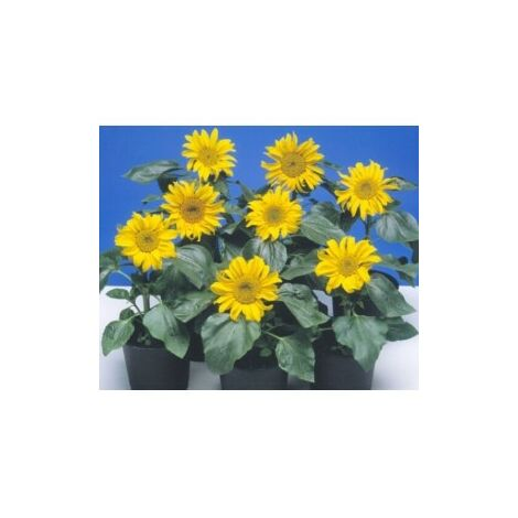 Soleil tournesol nain Sunspot jaune à coeur noir - 3g