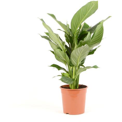 Spathiphyllum Sweet Lauretta Ø 24 x H. 105cm