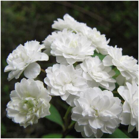 Spirée à feuilles pruineuse prunifolia Plena | Godet - 5/20 cm