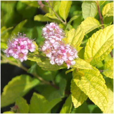 Spirée japonica Golden Princess