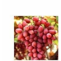 Sultanina - Apirene rosata