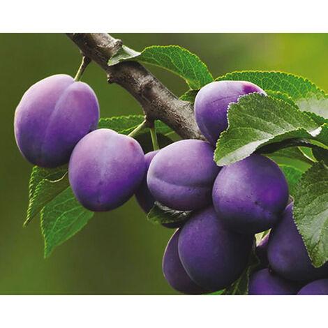Susino President Pianta da frutto su vaso da 26 h 130/180 cm 4 anni