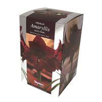 Taylors - Amaryllis Bulb Gift Pack - Black Pearl