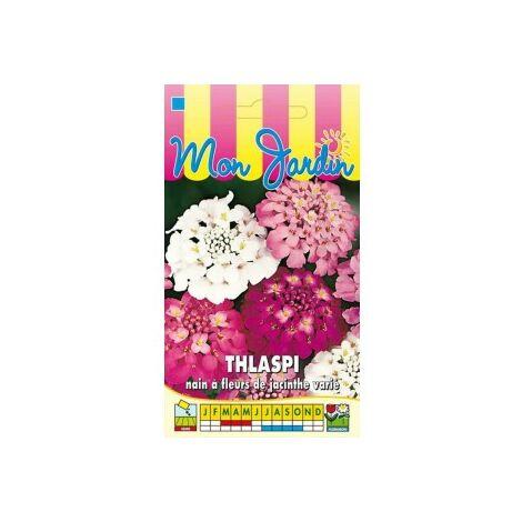 Thlaspi nain à fleurs de jacinthe varié - 2g