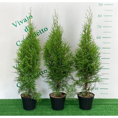 Thuja Occidentalis Smaragd in vaso 13 h.25/40 cm