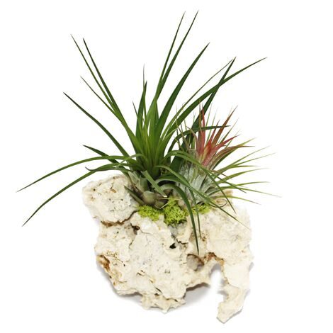 Tillandsias sur le rocher de Zanzibar - l - 2 plantes