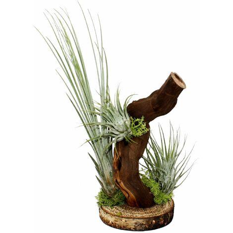Tillandsias sur racine d'arbre - 3 plantes