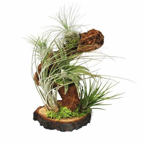 Tillandsias sur racine d'arbre - grande - 5 plantes