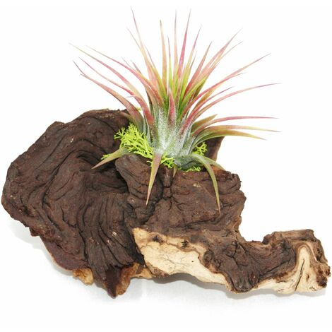 Tillandsias sur racine de Mopani - s - 1 plante