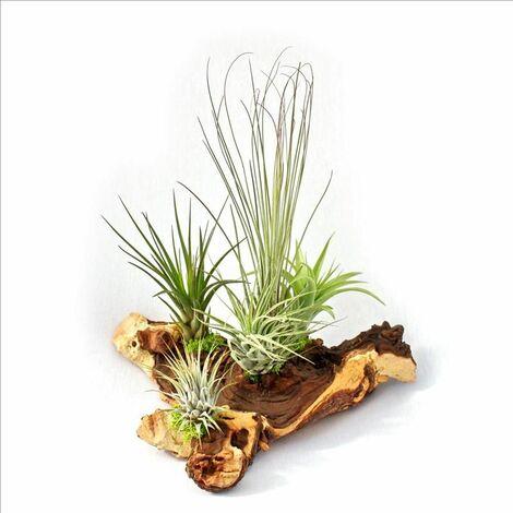 Tillandsias sur racine de Mopani - xxl - 5 plantes