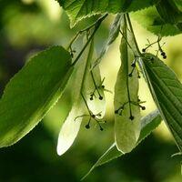 Tilleul des bois (Tilia Cordata)
