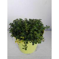 Timo limone vaso 14 piante aromatiche erbe aromatiche pianta aromatica