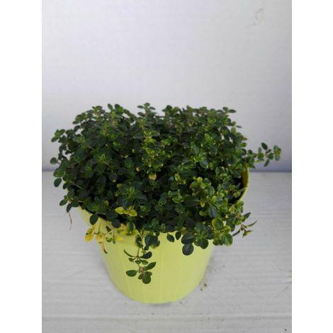 Timo limone -vaso 14cm- piante aromatiche erbe aromatiche pianta aromatica