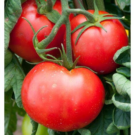 TOMATE FANDANGO F1 - 25 semences - Tomates