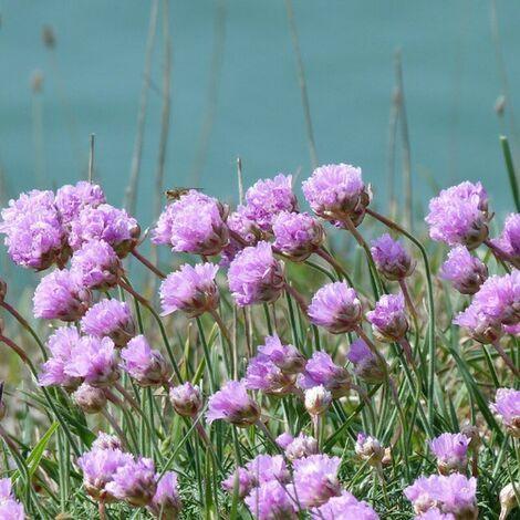 Tomate inj. black ruffles - 1Ud. - Maceta de 10,5cm