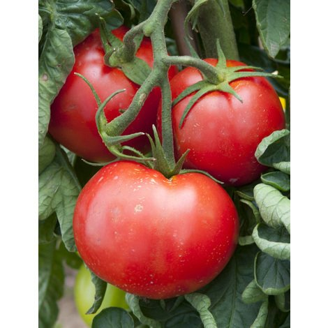TOMATE PYROS F1 - lot de 3 godets - Printemps