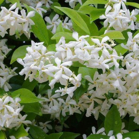 Trachelospermum - 1Ud. - Maceta de 10Litros