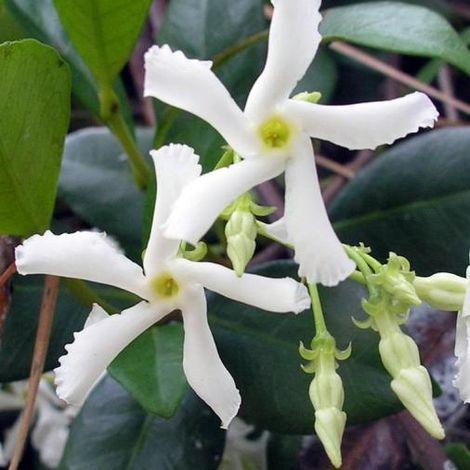 Trachelospermum jasminoides (Rhyncospermum - Gelsomino) - Ø 24 cm