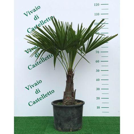 Trachycarpus fortunei palma cinese o di chusan o ventaglio foto reali