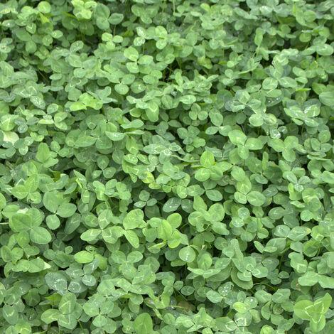 """main image of """"Trèfle blanc (Trifolium repens) 1 kg de trèfle rampant semence prairie Résistant à l'hiver"""""""