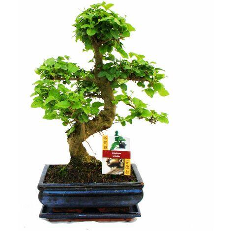 """main image of """"Troène chinois du Bonsaï - Ligustrum sinensis - env. 8 ans"""""""