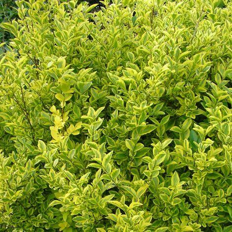 Troène de Californie ovalifolium Aureum