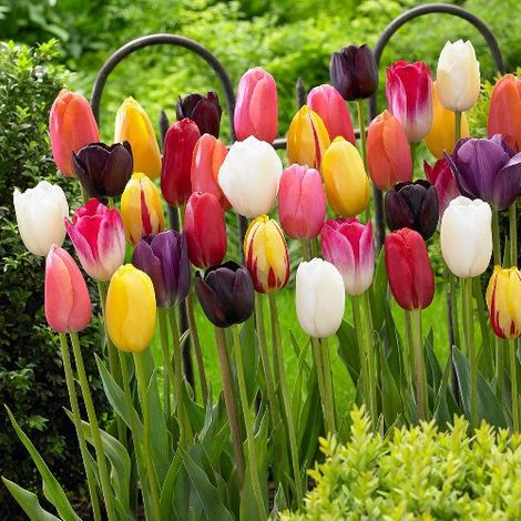 Tulipano Single Late Mixed (10 BULBI)