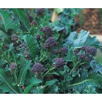 Vegetable - Broccoli - Early Purple Sprouting