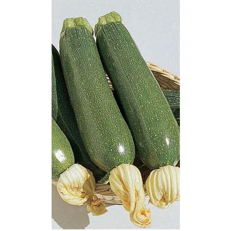 Coquina Inca Gold F1-10 Seeds Squash Vegetable Johnsons Winter