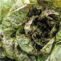 Vegetable - Heritage Lettuce - Freckles