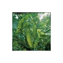 Vegetable Carouby de Maussane Economy 40 Seeds Pea