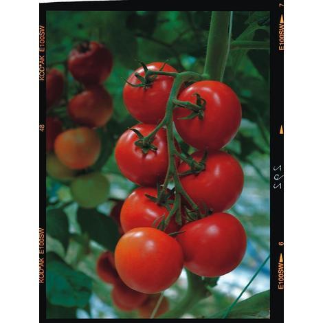 Vegetable - Tomato - Shirley F1