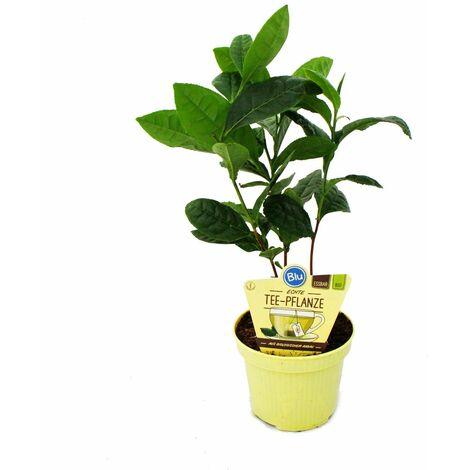 "main image of ""Véritable plante de thé - Camelia sinensis"""