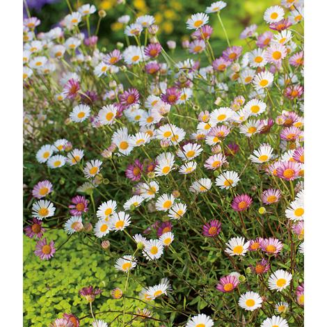 "main image of ""Plantes vivaces VITTADENIA"""