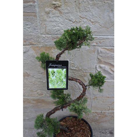 Wacholder S-Formgehölz - Juniperus c. ´Kaizuka´