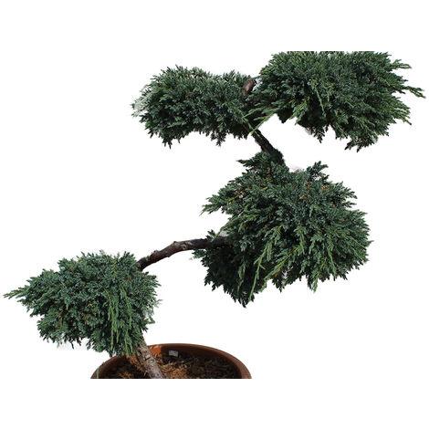 "Wacholder S-Formgehölz - Juniperus sqau. ""Blue Carpet"""
