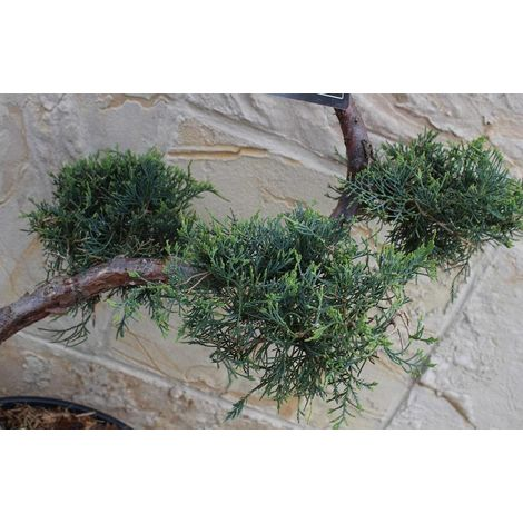 Wacholder S-Formgehölz - Juniperus virginia ´Grey Owl´