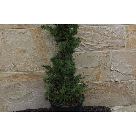 Wacholder Säule - Juniperus c. ´Kaizuka´