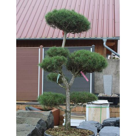Waldkiefer Bonsai - Pinus sylvestris
