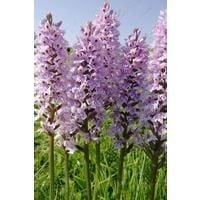 Wild Flower - Common Spotted Orchid - Dactylorhiza Fuchsii - 25000 Seeds (Stand)