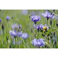 Wild Flower - Cornflower - Centaurus Cyanus
