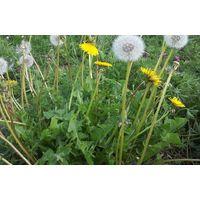 Wild Flower - Dandelion - Taraxacum Officinale